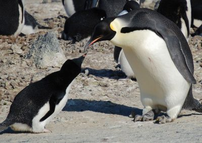 Adelie and Emperor Penguin