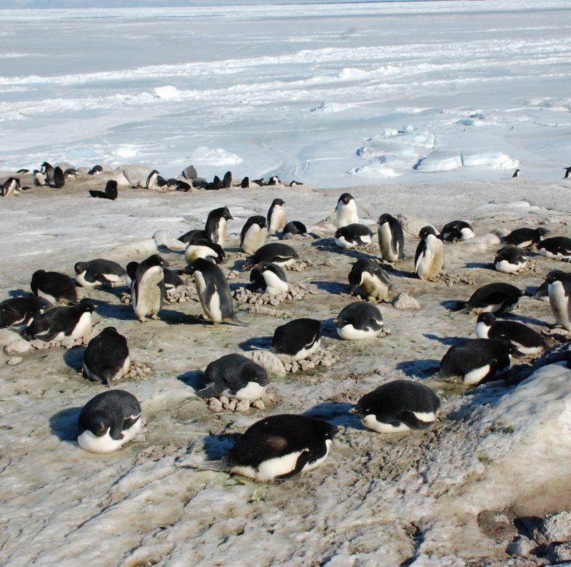 penguin breeding colony, adelie penguins, Cape Royds,